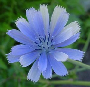 chicory_blue